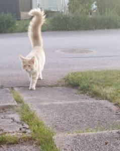 En lattefärgad katt