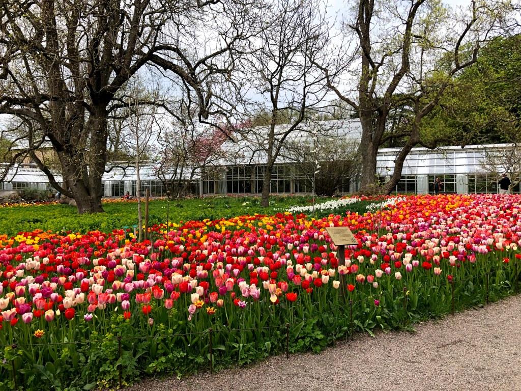 Ett hav av tulpaner i Lunds botaniska trädgård