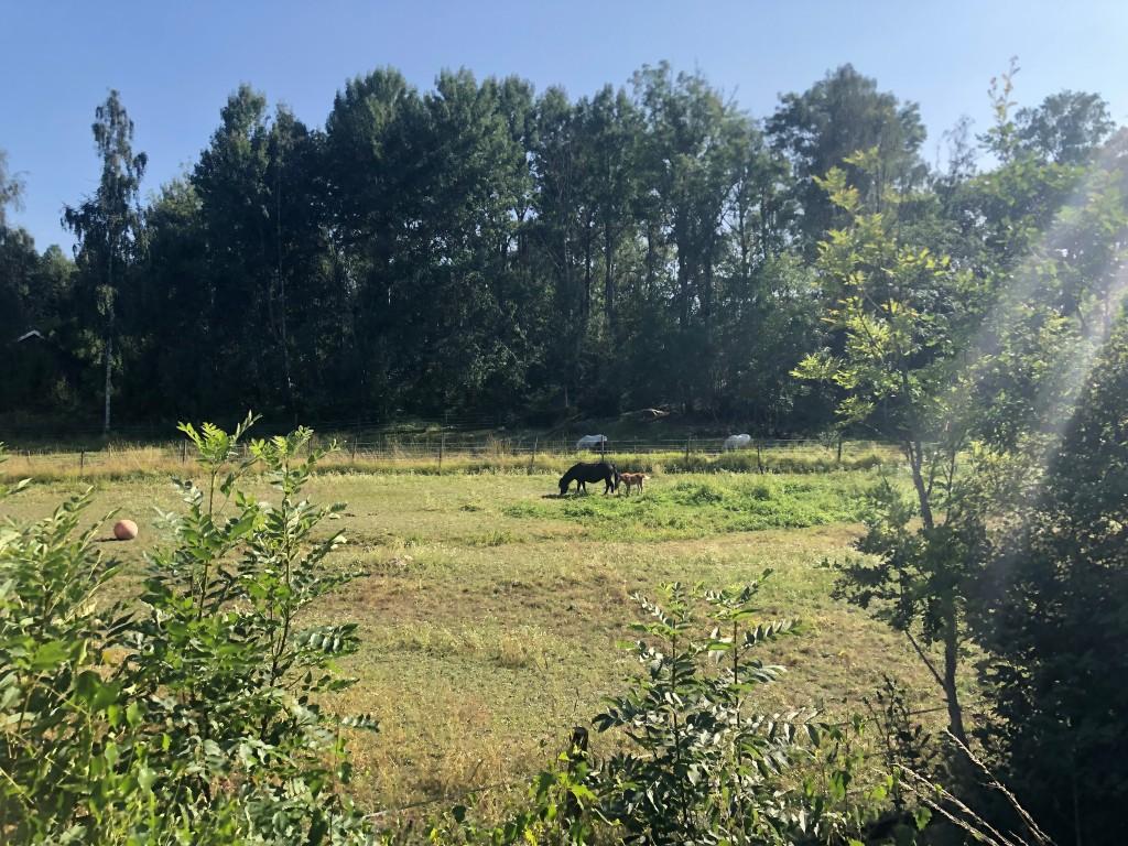 Ett föl och en häst i en hage med ett par vita hästar i bakgrunden. Soligt och gröna träd.
